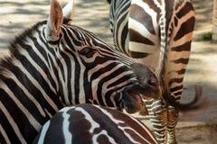 Las cebras en el parque zoológico caminan en su pajarera Imagen de archivo libre de regalías