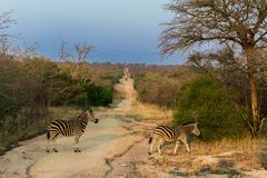 Las cebras están cruzando una trayectoria en la reserva de naturaleza de Kruger sobre un safari en África en octubre de 2017 fotografía de archivo
