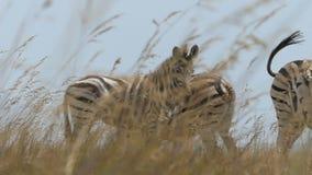 Las cebras rayadas felices se colocan en un césped de oro en verano en el slo-MES almacen de video