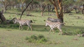 Las cebras se mueven en The Field con la hierba verde en el acacia 4K metrajes