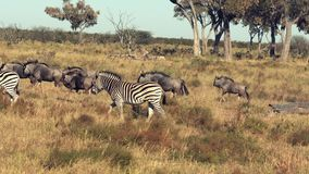 Las cebras y Wildebeasts son funcionamiento visto a través de los llanos metrajes