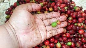 Las cerezas del café apenas guardarán a mano el foco selectivo Fotografía de archivo libre de regalías