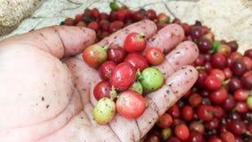 Las cerezas del café apenas guardarán a mano el foco selectivo Imagen de archivo libre de regalías