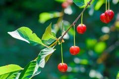 Las cerezas dulces en una rama en un verano cultivan un huerto Imagen de archivo libre de regalías
