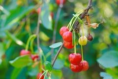 Las cerezas dulces en una rama en un verano cultivan un huerto Fotos de archivo libres de regalías