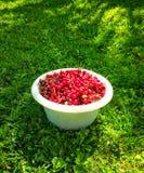 Las cerezas dulces rojas maduras con los tallos se cierran para arriba Fotos de archivo