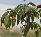 Las cerezas inmaduras de las bayas son pesticidas procesados Fotografía de archivo libre de regalías