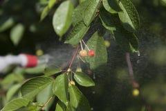 Las cerezas inmaduras de las bayas son pesticidas procesados Fotos de archivo libres de regalías