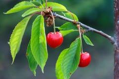 Las cerezas jovenes que cuelgan en una rama, es tiempo a la vitamina del verano Fotografía de archivo
