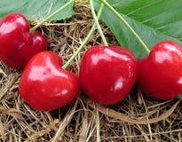 Las cerezas rojas tienen hojas verdes en el heno marrón de la paja Foto de archivo