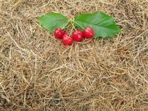 Las cerezas rojas tienen hojas verdes en el heno marrón de la paja para el fondo Fotos de archivo