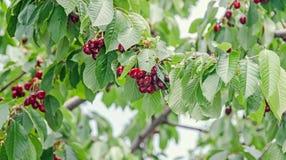 Las cerezas rojo oscuro dan fruto, cereza del árbol con las hojas verdes fotos de archivo