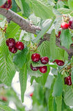 Las cerezas rojo oscuro dan fruto, cereza del árbol con las hojas verdes imagenes de archivo