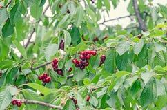 Las cerezas rojo oscuro dan fruto, cereza del árbol con las hojas verdes foto de archivo
