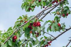 Las cerezas rojo oscuro dan fruto, cereza del árbol con las hojas verdes fotografía de archivo libre de regalías