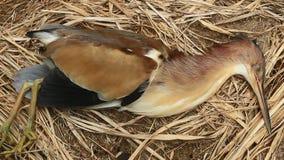 Las cigüeñas mueren en tierra metrajes