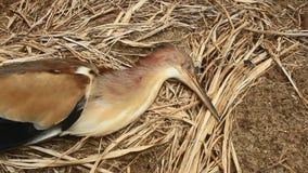 Las cigüeñas mueren en tierra almacen de video