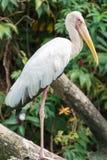 Las cigüeñas son pájaros que vadean grandes, zanquilargos, de cuello largo con el lon foto de archivo