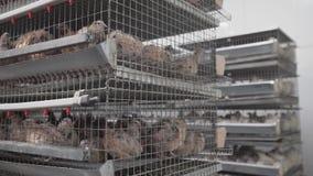 Las codornices se sientan de cerca en jaula en el gallinero almacen de metraje de vídeo
