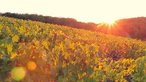 Las colinas y los campos con los viñedos son iluminados por el sol poniente almacen de metraje de vídeo