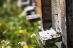 Las colmenas en la disminución con pocas abejas se fueron vivo después del colla de la colonia Imágenes de archivo libres de regalías