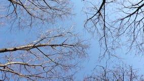 Las coronas de los árboles deshojados se sacuden en el viento contra el cielo azul de la primavera en un día soleado almacen de video