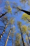 Las coronas del abedul están en el bosque del resorte Imágenes de archivo libres de regalías