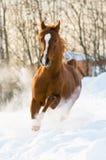 Las corridas árabes rojas del semental galopan en la nieve Foto de archivo libre de regalías