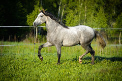 Las corridas del caballo blanco trotan en el prado Fotos de archivo