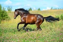 Las corridas del caballo de bahía galopan en prado de las flores Foto de archivo libre de regalías