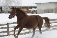 Las corridas pesadas rojas del caballo galopan en invierno foto de archivo