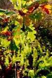 Las corrientes del sol de la caída a través de las hojas del roble y de los helechos verdes Foto de archivo