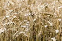Las cosechas del trigo se cierran para arriba Foto de archivo libre de regalías