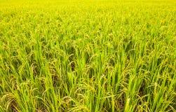 Las cosechas están madurando Imagen de archivo libre de regalías