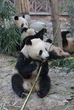 Las cuadrillas de pandas gigantes están comiendo las hojas de bambú con su Cub, Chengdu, China Foto de archivo