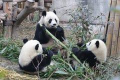 Las cuadrillas de pandas gigantes están comiendo las hojas de bambú con su Cub, Chengdu, China Imagenes de archivo