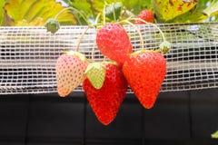 Las cuatro frutas grandes de la fresa en la rama en fresa cultivan, Imagen de archivo