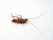 Las cucarachas llevan las enfermedades que usted tiene que eliminar Imagenes de archivo