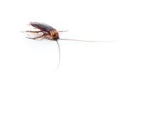 Las cucarachas llevan las enfermedades que usted tiene que eliminar Foto de archivo libre de regalías