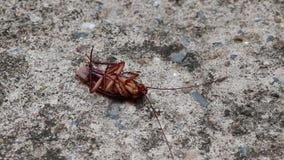 Las cucarachas mienten en one's detrás y mueven las piernas antes mueren en el piso concreto almacen de video
