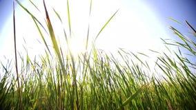 Las cuchillas grandes de la hierba en un pantano con el sol señalan por medio de luces metrajes