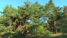 Las curvas de los troncos de los árboles de pino en los rayos del sol almacen de metraje de vídeo