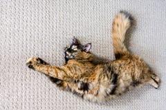 Las curvas del gato de la quimera en la alfombra fotografía de archivo libre de regalías