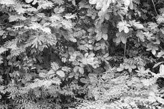 Las czarny i biały Obraz Royalty Free