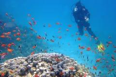 Las demostraciones del zambullidor APRUEBAN firman encima corales Imagen de archivo libre de regalías