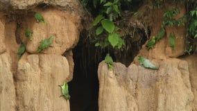 Las diversas especies de loros del Amazonas en la arcilla se lamen en el Brasil, comportamiento típico del pájaro, loros que reco metrajes