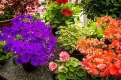 Las diversas flores del geranio se cierran para arriba Imagen de archivo libre de regalías