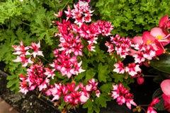 Las diversas flores del geranio se cierran para arriba Fotografía de archivo libre de regalías