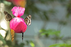 Las diversas mariposas son alimentación usando bolsos rosados Foto de archivo