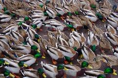 Las docenas de patos del pato silvestre hacen un modelo abstracto en tierra imagen de archivo libre de regalías